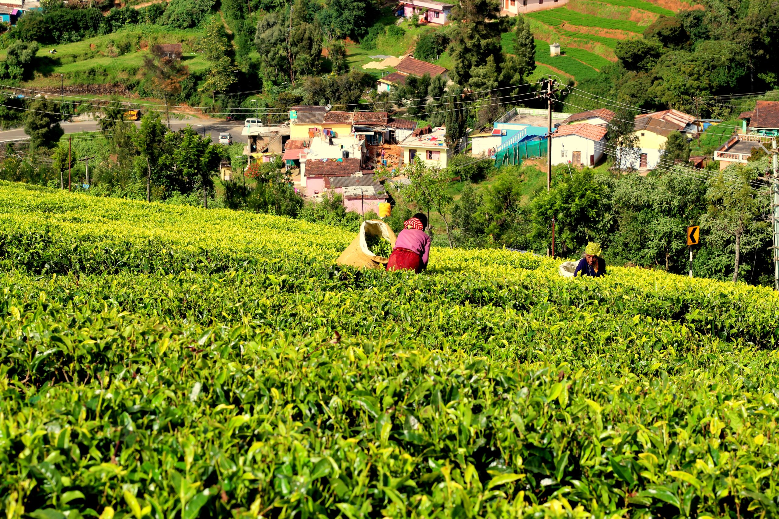 A Tea Field in Doddabetta Peak, Ooty, Tamil Nadu, India